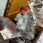 Ocean Harvest employee D.J. Breaux shovels shrimp from the boat Slow Ride onto a conveyor belt for weighting after returning from a three day trip in 2009. Prices for 2015 have plummeted, according to shrimpers.