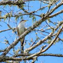 Audubon Arizona and their partners plan to raise funds to preserve the Western Yellow-Billed Cuckoo, a threatened bird species in Arizona.