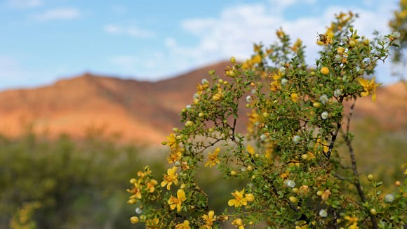 Creosote grows along the Leeds Reef Trail in the Red Cliffs Recreation Area.