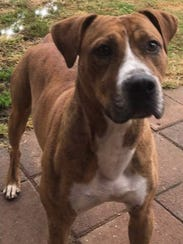 Petey is a young, neutered-male pit bull terrier/boxer