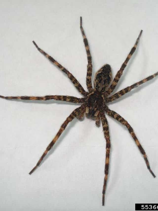 Scary Michigan Spiders Brown Recluse 4 Others To Watch For