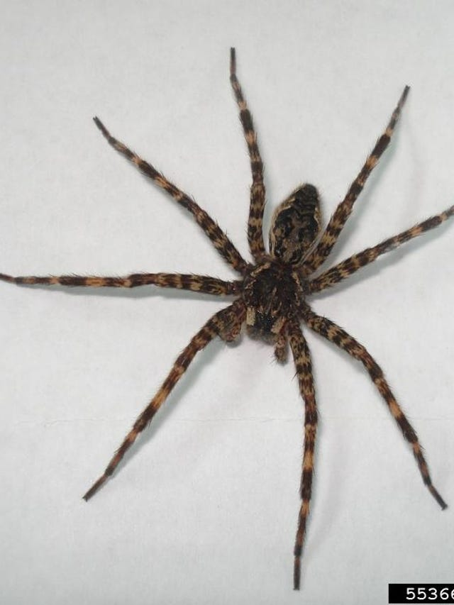 Scary Michigan spiders: Brown recluse, 4 others to watch for