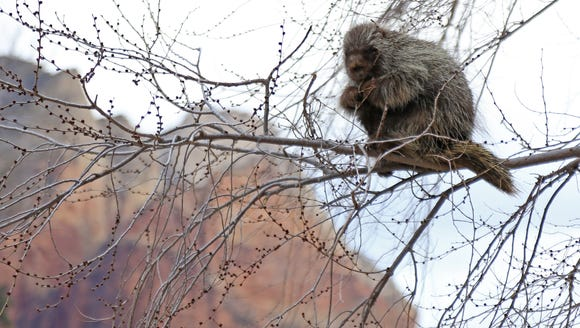 A precariously perched porcupine has a meal alongside