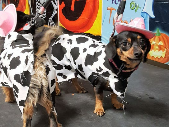 Two small dogs dressed up as cows participate in the