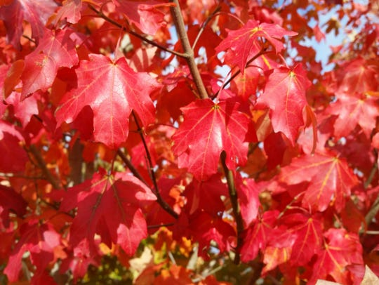 Fall leaves on the Mesa Glow maple tree turn a brilliant