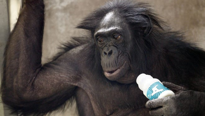 Matata relaxes with a bottle of milk during lunch at the Iowa Primate Learning Sanctuary in Des Moines.
