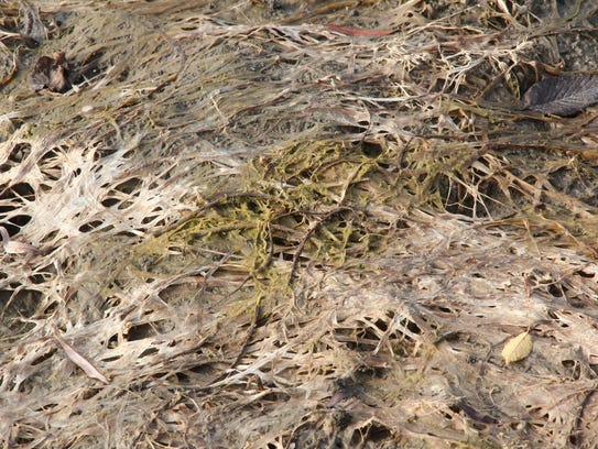 Dried vegetation is photographed in a drained portion