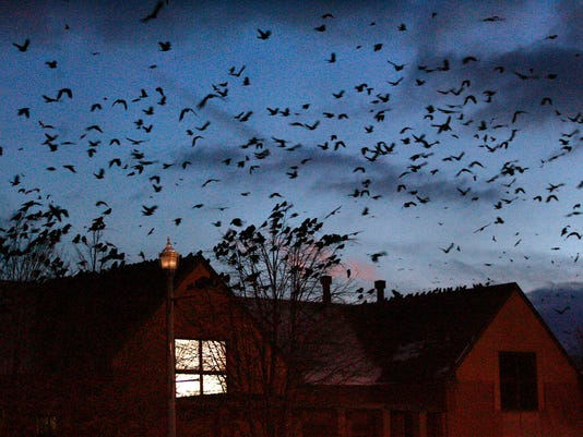 Countless Crows
