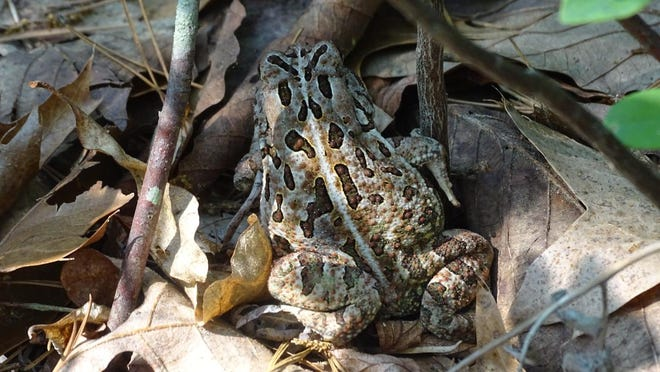 A Fowler's toad in Brendan T. Byrne State Forest in Burlington County