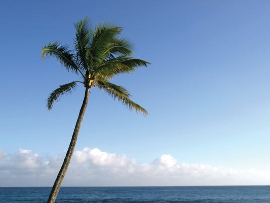 Palm tree in Maui. Promo for  0904 Hawaii issue