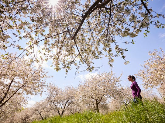 Cherry blossoms begin blooming in May on the Door County