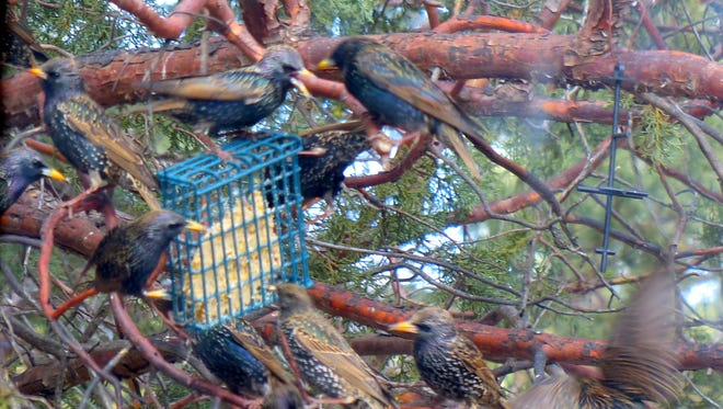 Some fresh suet sparks a colorful battle among a flock of starlings at a home in Ruidoso.