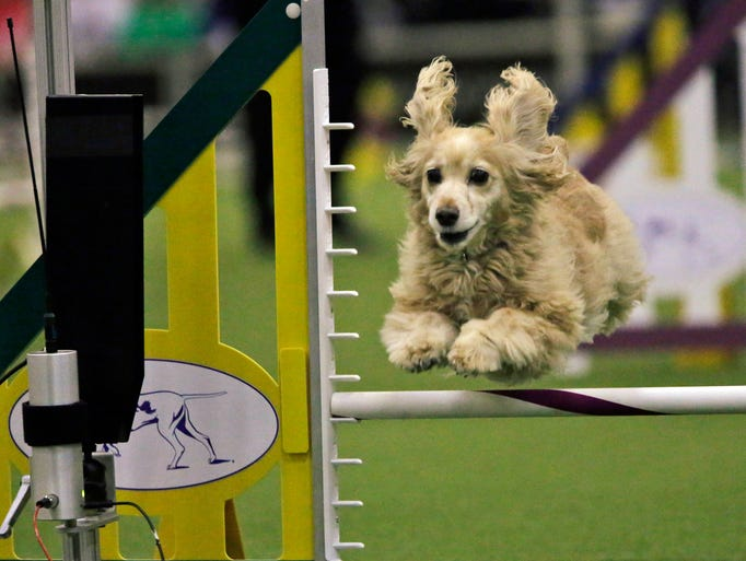 Sadie, a cocker spaniel, competes in the Westminster