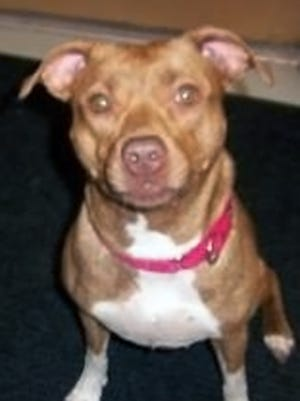 An officer shot a pit bull during a call in Marshfield. NOTE: This file photo of a pit bull mix does not depict the animal in the incident.