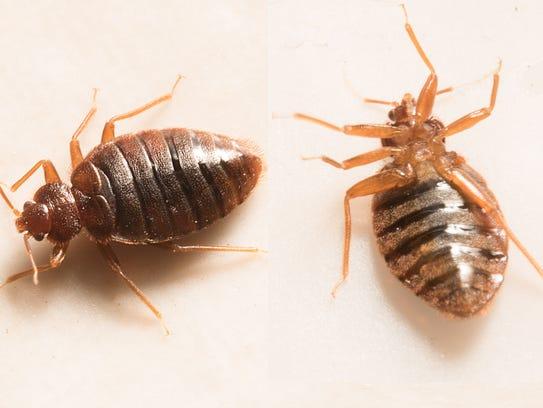 Two bedbugs