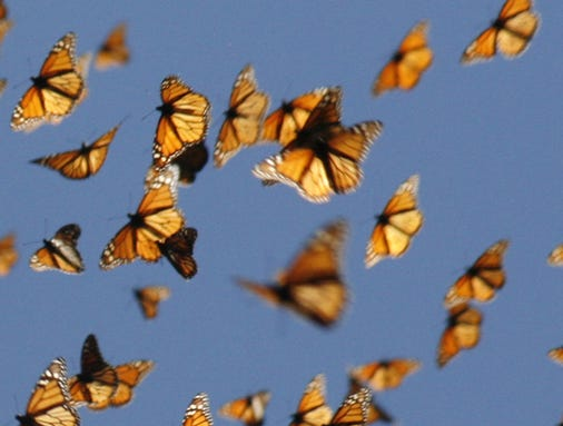 Migrating monarch butt...