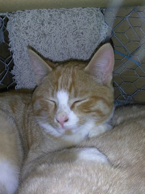 Sunshine is a domestic short hair orange and white tabby. She's a social cat who loves affection. She's almost caught up on vet care. Sunshine would be good in a home with other cats. Apply with Another Chance Animal Welfare League Adoption Center at www.acawl.org. Call 547-7387.