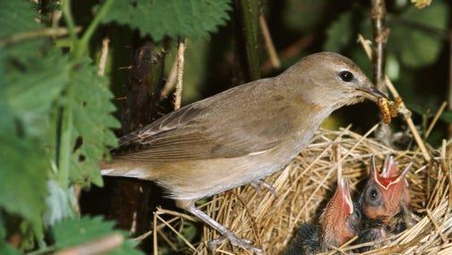 Garden Warbler feeding chicks in nest