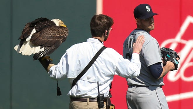 A handler retrieved the eagle Challenger after it landed on Mariners pitcher James Paxton on Thursday.