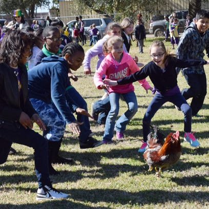 St. Frances Cabrini School fourth, fifth and sixth graders chase a rooster during the school's Courir de Mardi Gras Friday. Fifth-grader Bailey Simmons, 10, caught the rooster.