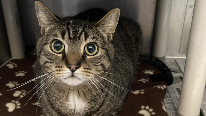 Meet Jacobi, a neutered male brown tabby and black domestic shorthair. The shelter thinks he's about 4 years old. He has  been at the shelter since Aug 10, 2020.