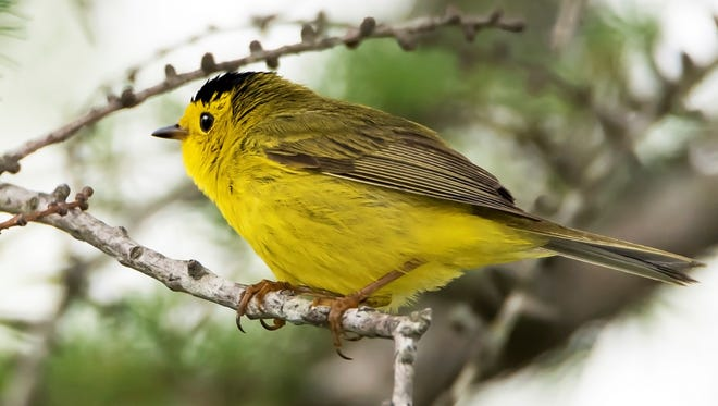 This bird was incorrectly identified in the Sept. 22-28 issue.  It is a Wilson's Warbler.