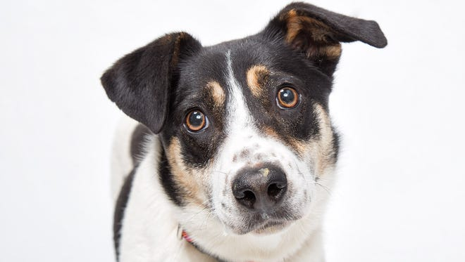 PET OF THE WEEK - Calamity Jane is three years old. She is very shy, but loves walks. Jane would love to have a doggy companion in her new home, along with a family who will be patient with her as she gains confidence and learns to trust.