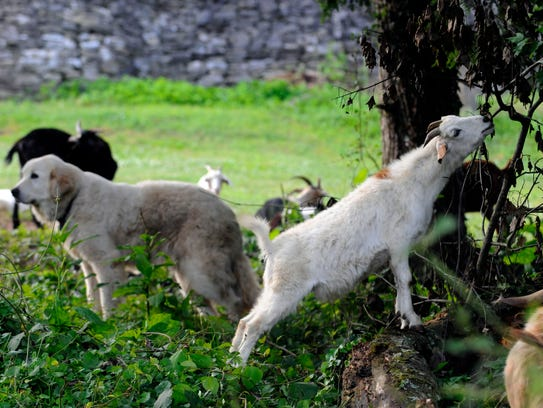 """Goats graze on land at the Knoxville Botanical Gardens during a """"Breakfast with the Goats"""" on May 19, 2010."""