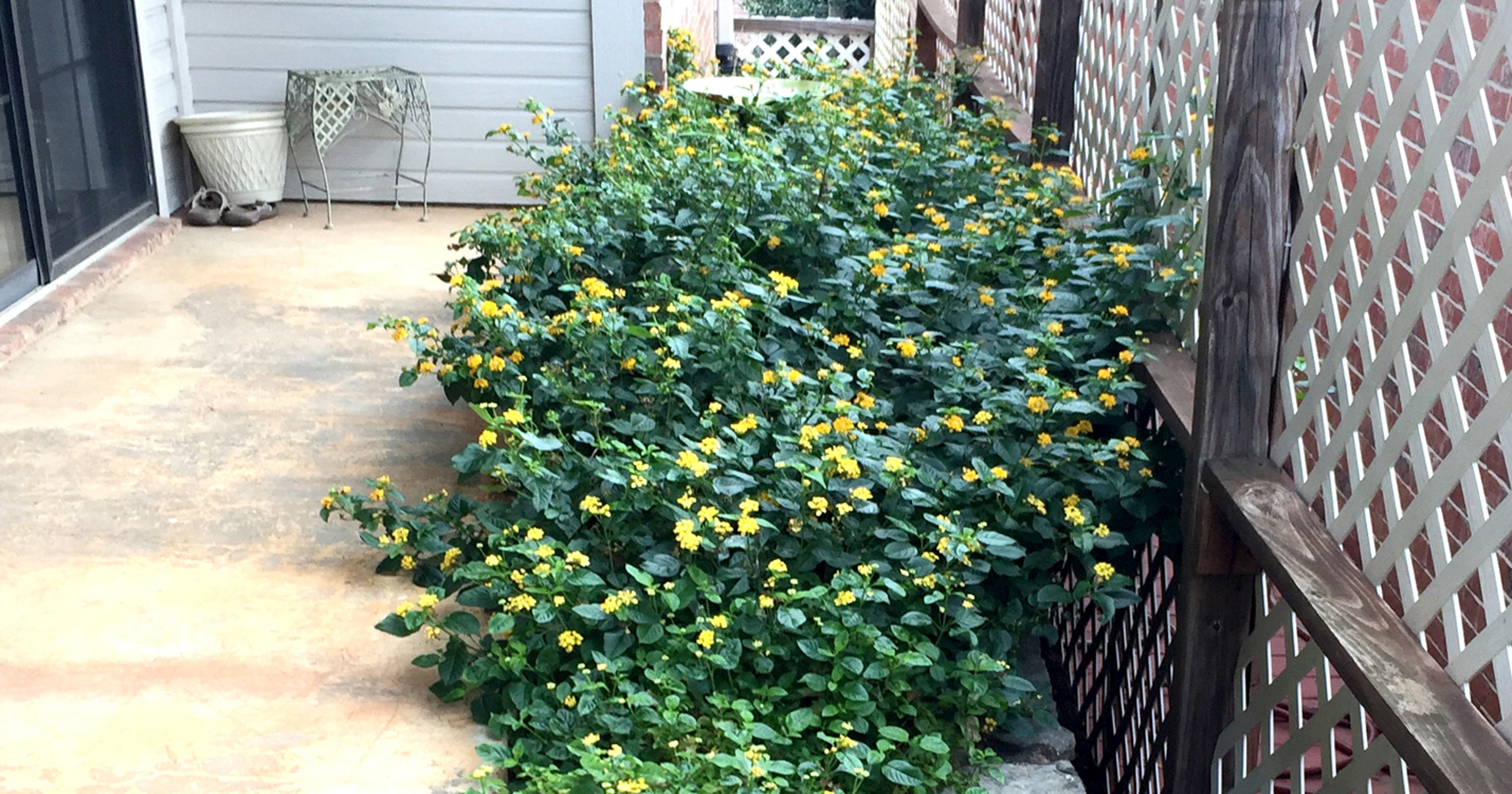 Thin Lantana Bed After Plants Freeze Back To The Ground