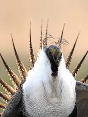 A sage grouse in the Curlew National Grasslands, south