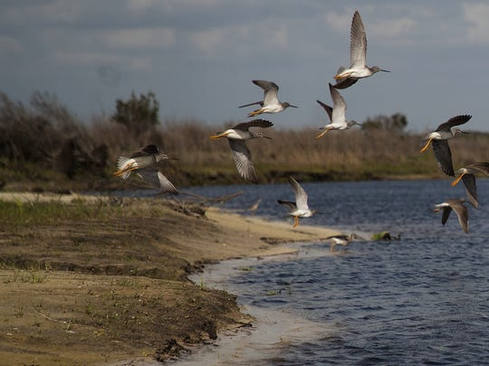 Greater yellowlegs sandpipers take off from beach on the restored part of the Kissimmiee River.