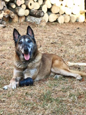 Kilo, a Belgian Malinois, served with the Knoxville Police Department from 2010 to 2016.