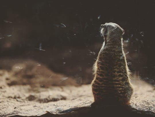 Meerkats love to munch on roaches.
