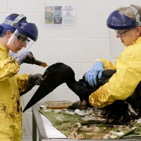 Thousands of gallons of oil cleaned from Calif. coast