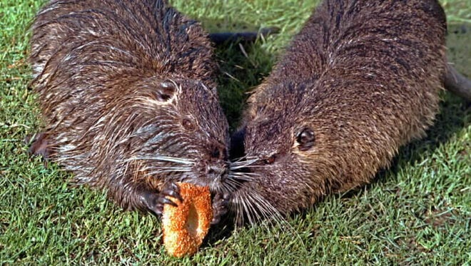 Two muskrats living in a duck pond in the center of a commercial district in downtown Beaverton, Ore., share a sesame-seed bagel.