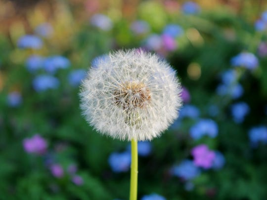 A dandelion stands alone in the field of spring flowers.