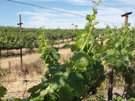 Vineyards at Wilson Creek Winery in Temecula, Calif