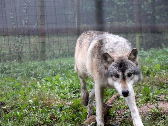 Aries is one of the 60 rescued or abused wolfdogs who lives at Full Moon Farm in Florida.