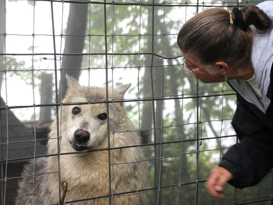 Nancy LaPorta Brown, Full Moon Farm president and founder talks to Cyrus, 13, who looks out onto visitors in late September. Full Moon Farm is a nonprofit sanctuary for abused and rescued wolfdogs.