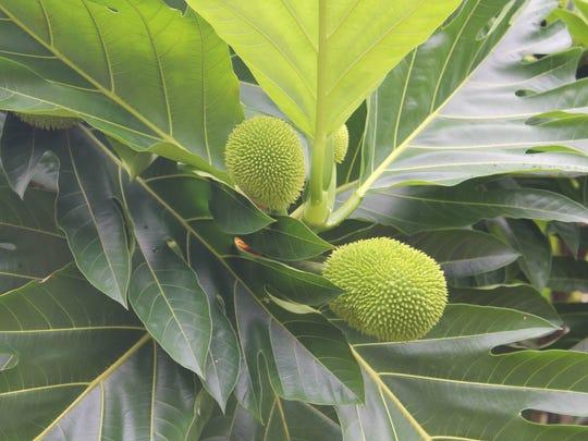 Tahitian breadfruit