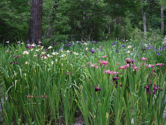 The Bay Garden in bloom with Louisiana Irises at Briarwood.