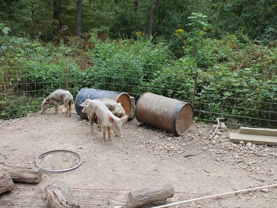 Some surviving pigs kept in a pen without food or water