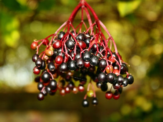 Growing medicinal elderberry fruits