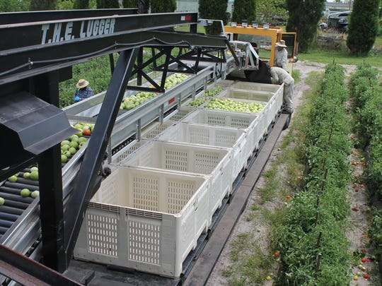 Crates of tomatoes are filled from The Lugger's conveyor system.
