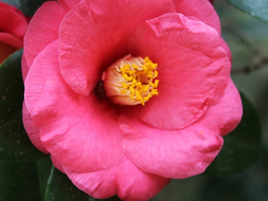 Count the shades of camellia petals at Maclay Gardens.