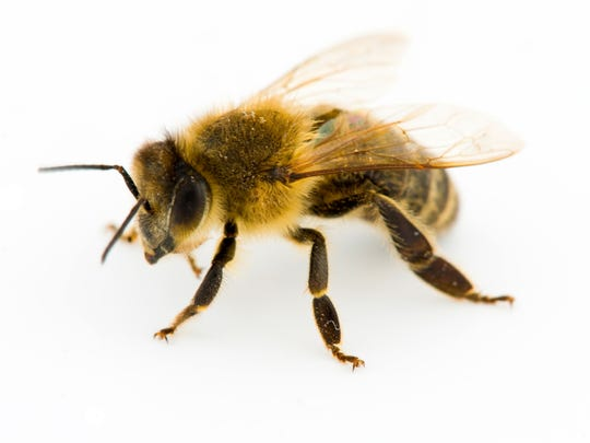Most people don't realize that honeybees are capable of obtaining food through birdseed available at backyard bird feeders, as well as maple flowers just opening high in the treetops on warm winter days.