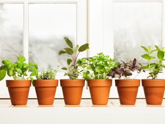 Indoor Herb Plant Garden in Flower Pots by Window Sill