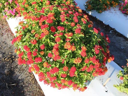 636591384921832592-Lantana-cultivar---UF-1013A-2A-Bloomify-Red.jpg