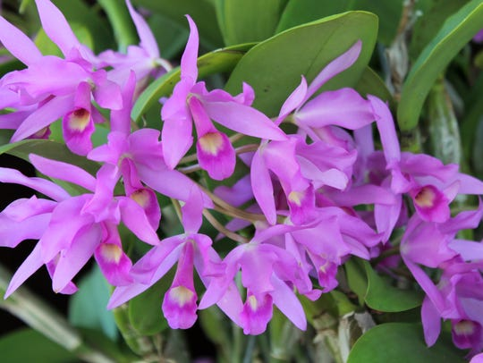 """Days of Wine and Orchids,"" The Platinum Coast Orchid Society's 55th. Annual Orchid Show and Sale will be held Friday through Sunday, May 4 to 6, at Kiwanis Island Park Gymnasium, 951 Kiwanis Island Park, Rd., Merritt Island, on State Road 520 between U.S. 1 ad Hwy. A1A. Photo by Patti and Charles Scholes."