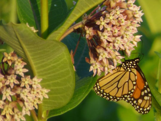 Monarch caterpillars feed exclusively from the milkweed flower.